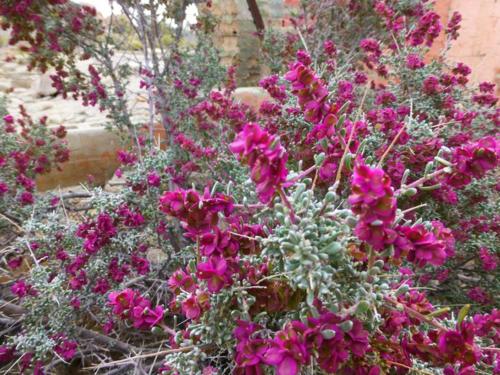Grayia spinosa; Spiny Hopsage